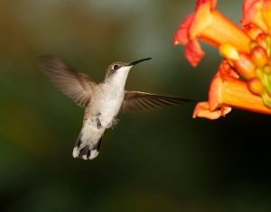 Hummingbird for blog